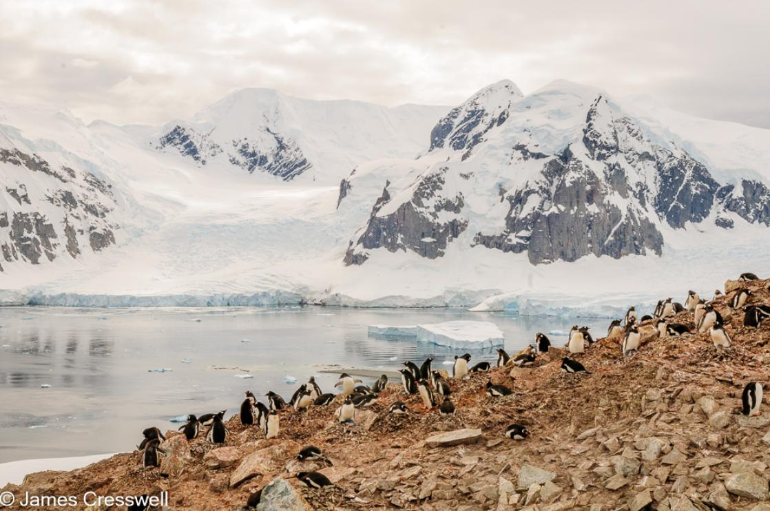 A photograph of a colony of gentoo penguins on Danco Island in the Errera Channel, Antarctica, taken on a PolarWorld Travel expedition cruise
