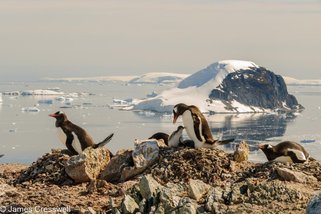 A photograph of nesting gentoo penguins on Danco Island in the Errera Channel, Antarctica with Cuverville Island in the back ground, taken on a PolarWorld Travel expedition cruise