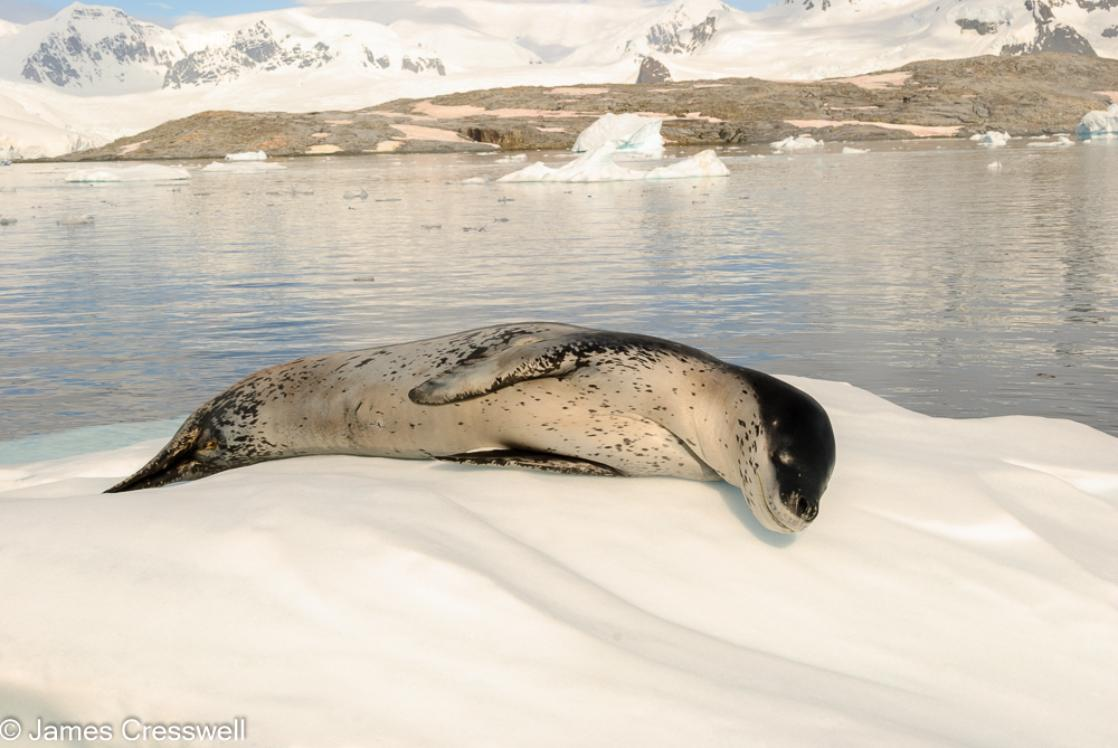 A photograph a leopard seal rests on an ice flow in front of Pléneau Island, Antarctica, taken on a PolarWorld Travel expedition cruise