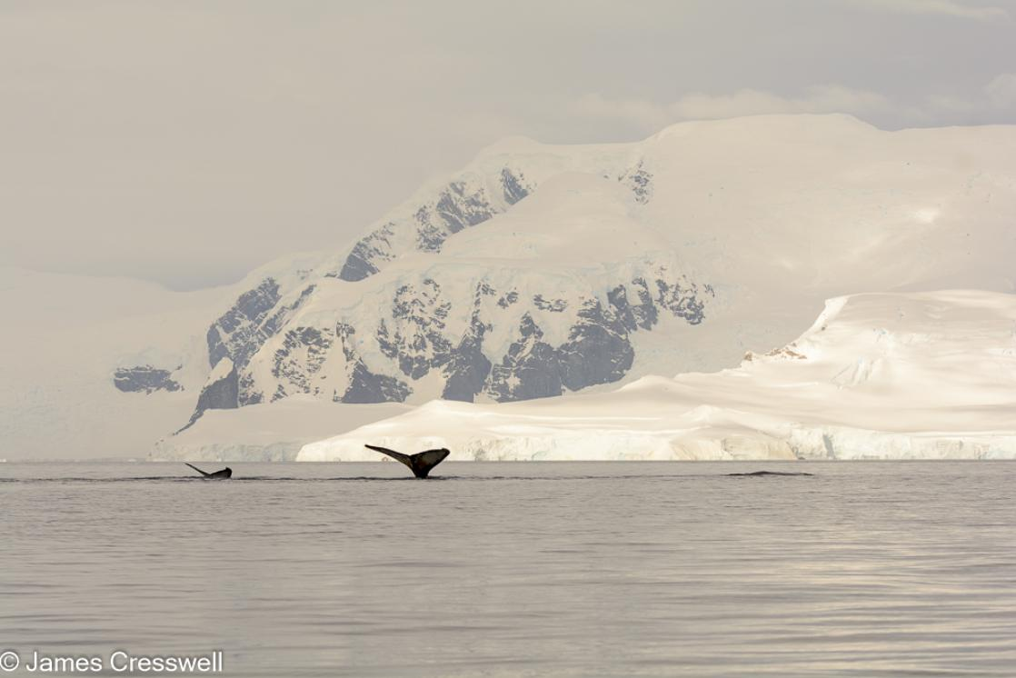 A photograph of humpback whales fluking in Wilhelmina Bay, Antarctica, taken on a PolarWorld Travel expedition cruise