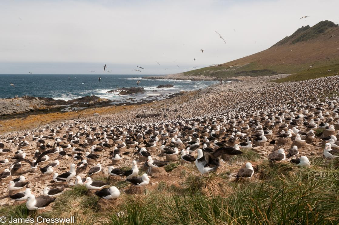 A photograph of the world's largest Black-browed Albatross colony, Steeple Jason, Falkland Islands, taken on a PolarWorld Travel polar expedition cruise