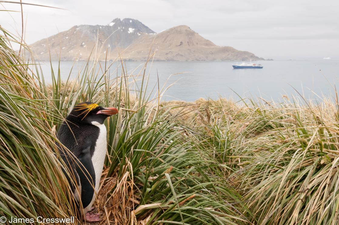 A photograph of a Macaroni Penguin with the m/v Plancius behind at Cooper Bay, South Georgia, taken on a PolarWorld Travel polar expedition cruise