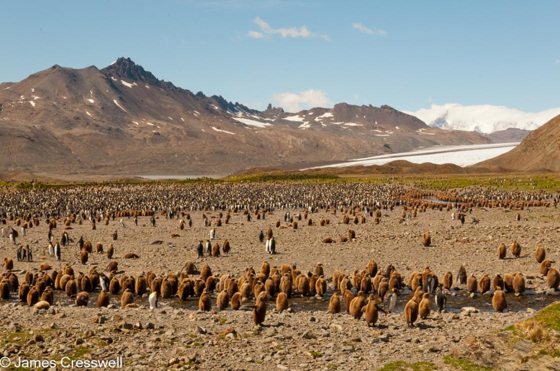 A photograph a king penguin colony with glacier in the background at Fortuna Bay, South Georgia, taken on a PolarWorld Travel polar expedition cruisea