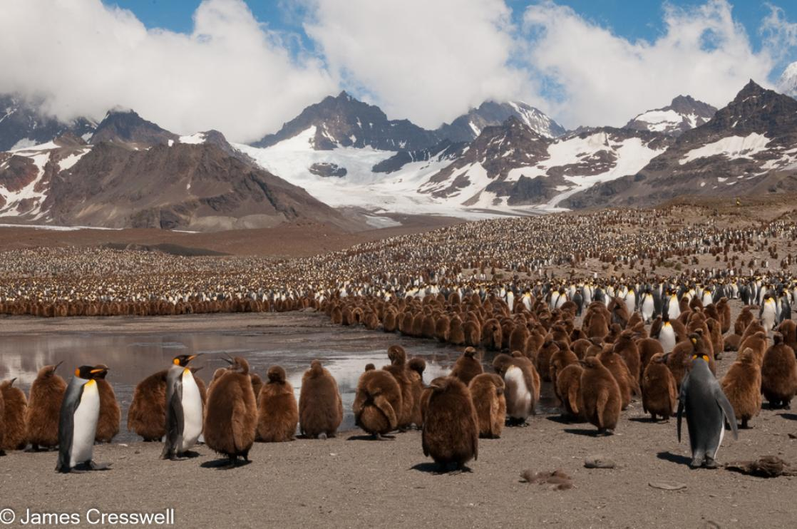 A photograph of  thousands of king penguins with mountains in the background, taken at St Andrews Bay, taken on a PolarWorld Travel polar expedition cruise