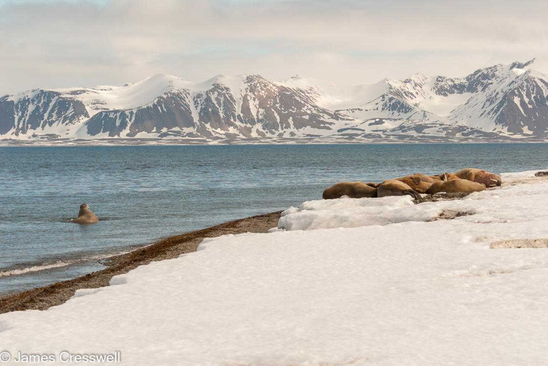 A photograph of   Walrus haul-our at Poolepynten on Prins Karls Forland, Spitsbergen, Svalbard, taken on a PolarWorld Travel polar expedition cruise