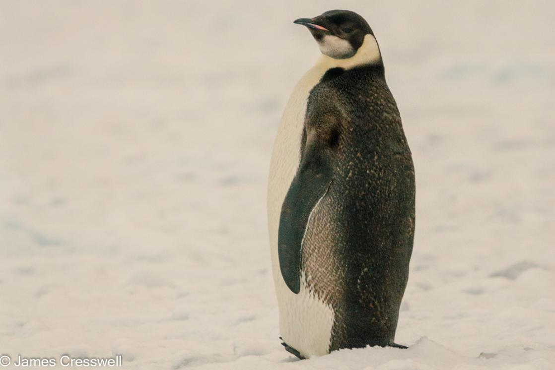 A photograph of a  juvenile emperor penguin resting on an ice floe in Antarctic Sound, Antarctica, taken on a PolarWorld Travel expedition cruise