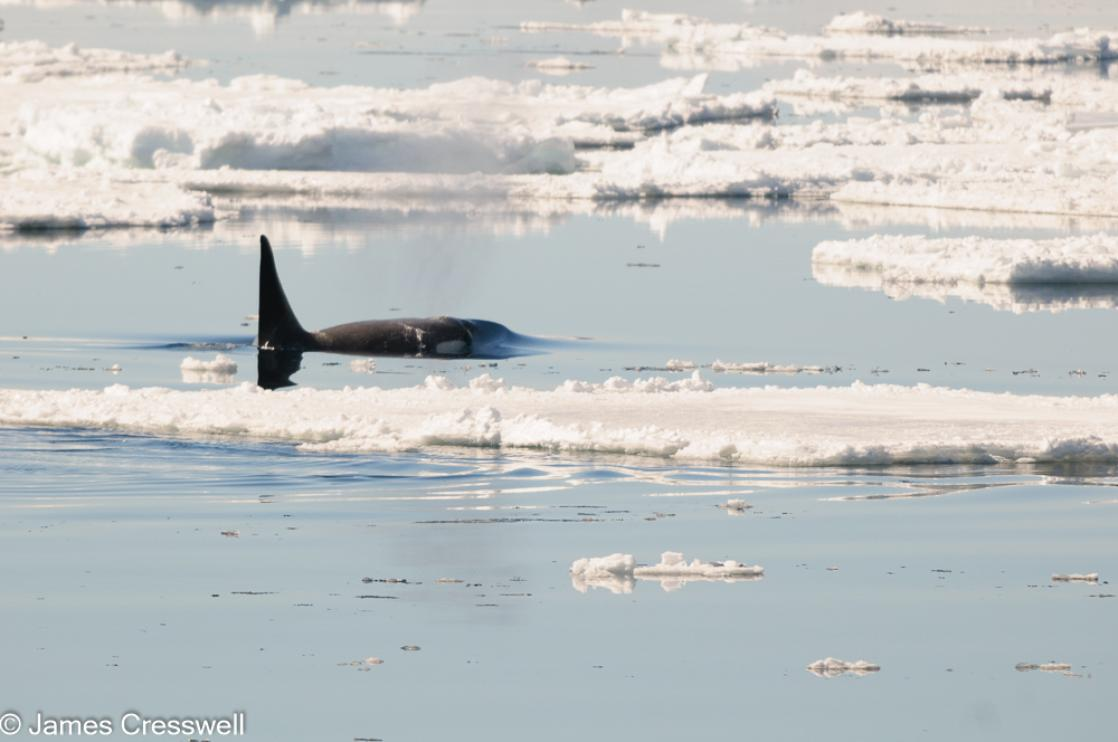 A photograph of a hunting orca (killer whale) in the Erebus and Terror Gulf, Weddell Sea, Antarctica taken on a PolarWorld Travel expedition cruise